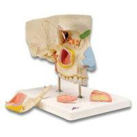 鼻腔と副鼻腔の構造5分解モデル E20 3B
