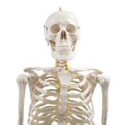安い骨格模型の通販商品を比較 ショッピング情報のオークファン