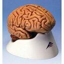 脳、5分解モデル C18 3B