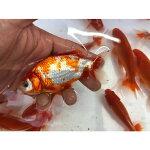 美濃紅和金(ミロクワキン)約10〜11cm村木養魚場産※1匹の販売です。画像は参考個体です。