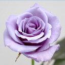 価値ある青いバラ、青バラ「夢かなう」あの方に!!サントリーブルーローズ「アプローズ」 1本...