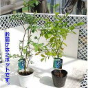 たくさんなるブルーベリー!2品種セットでお届けします!25年初夏から収穫できます。《1週間ベ...