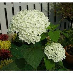 鉢植え、庭植え、観賞用に最適です。凛として美しい、日本原産のアジサイです。アジサイ アナ...