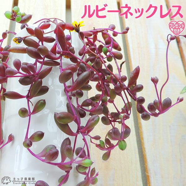 多肉植物 『 ルビーネックレス 』 7.5cmポット苗 ( 鉢と受け皿プレゼント )