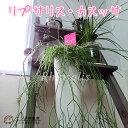 これがサボテン!?管理がしやすい観葉植物観葉植物 『リプサリス・カスッサ』 10.5cm鉢植え