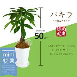 パキラセラアート鉢スタイリッシュ3株仕立て(受け皿プレゼント付き)