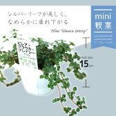 [ミニ観葉植物] ピレアグラウカ 9cmポット