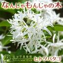 珍しい花木です。花の最盛期は綿雪が積もったように見えます!なんじゃもんじゃの木(ヒトツバ...