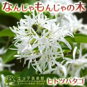 なんじゃもんじゃの木(ヒトツバタゴ)13.5cmポット苗