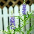 西洋ニンジンボク 9cmポット苗 鉢植え可 ガーデニング 庭