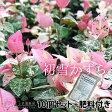 初雪かずら 9cmポット苗×10個 +肥料800gプレゼント
