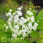 エルダーフラワー(西洋ニワトコ)『オーレア』 9cmポット苗 鉢植え可 ガーデニング 庭 ハーブ