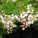 一才性サルスベリ。小さい樹でも沢山花を咲かせます!サルスベリ【ペチートスノー】12cmポット苗