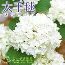 鉢植え、庭植え、観賞用に最適です。手まりのような花がいっぱい、大手毬大手毬(オオデマリ)1...