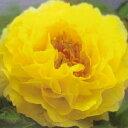 黄色の名花です。牡丹【黄冠】 7号ポット苗