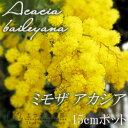 シンボルツリーにお薦め!シルバーリーフと愛らしい花が魅力。ミモザアカシア 5号(15cm)ポッ...