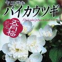 八重咲き梅花ウツギ(五月梅)5号鉢植え