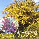希少品種!鮮やかな紫色の新芽と春の花が目を引きます!ゴールデンミモザ 『プルプレア』(銀葉...