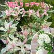 斑入りコデマリ『ピンクアイス』 10.5cmポット苗
