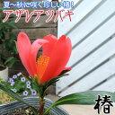 椿 『 アザレアツバキ 』 ( 四季咲き性 ) 9cmポット...
