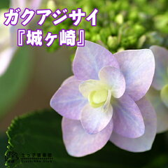 風情ある和の美しさ!ガクアジサイの八重咲き種!ガクアジサイ 『城ヶ崎(ジョウガサキ)』 10....