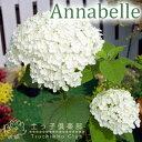 アジサイ アナベル 白 10.5cmポット苗