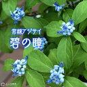 常緑アジサイ 『 碧の瞳 』 アオノヒトミ 9cmポット苗 【 珍種 】