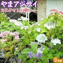 ヤマアジサイ おまかせ3品種セット (9cmポット苗×3株)...