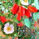 ロサ・カニナ 『 ドッグローズ 』 ( ローズヒップ ) 6号鉢植え 【 原種系 】