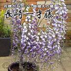 長崎一才藤(花ふじ) 6号鉢植え