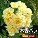 木香バラ ( 黄色 八重咲 ) 9cmポット苗 ツルバラ 薔薇 ガーデニング 【 送料無料 】 【 2個セット 】