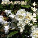 木香バラ(白八重)9cmポット苗