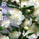 ガーデン・ペット・DIY通販専門店ランキング3位 香る花木 『 銀梅花 ( ギンバイカ ) 』 9cmポット苗 【 2個セット 】