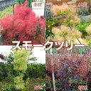 【楽天スーパーSALE 特価!】スモークツリー ( カスミの木 ) 13.5cmポット苗
