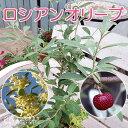 ロシアンオリーブ(細葉グミ) 10.5cmポット苗