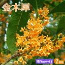 キンモクセイ ( 金木犀 ) 10.5cmポット苗 【 2個
