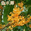 香りの木の代表『金木犀』キンモクセイ 15cmポット苗