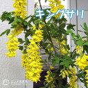 キングサリ(ボッシー) 15cmポット苗木( 黄花藤 )