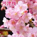 桜 『 河津桜 ( かわづざくら ) 』接ぎ木 15cmポット 苗木