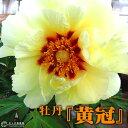 牡丹『 黄冠 』 6号スリット鉢植え( 黄ボタン )< お届け時には今期の開花は終了しています >