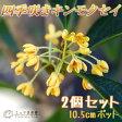 四季咲き金木犀(キンモクセイ)10.5cmポット苗 【2個組】