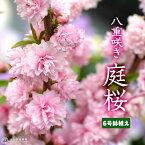 『 庭桜 ( ニワザクラ ) 』 ピンク ( 八重咲き ) 6号鉢植え <※お届け時には、今期の花は終了しています>