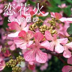 ピンクの花が紅色に変化!秋の紅葉も綺麗です!ヤブデマリ『恋花火』(花芽つき) 5号鉢植え 05...