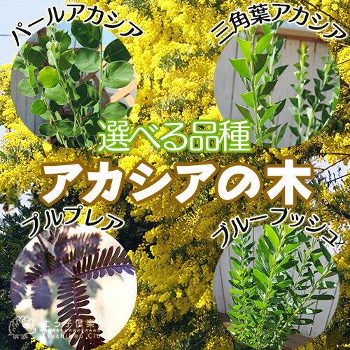 アカシアの木 ( ブルーブッシュ / 三角葉 / パール / プルプレア ) 10.5cmポット苗 【 選べる品種 】