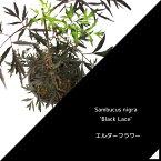 エルダーフラワー 西洋ニワトコ ブラックレース 9cmポット苗 鉢植え可 ガーデニング 庭
