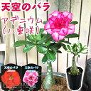 天空のバラ ( 八重咲き アデニウム ) 4号鉢植え 【選べる花色 人気品種2色】