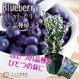 ブルーベリー 『ラビットアイ系 2品種植え』 (3年生) 8号スリット鉢 《肥料付き!!》