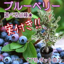 今期から収穫たっぷり!! 家庭菜園にも人気の健康果樹!実付き!!【選べる品種】ブルーベリー(5...