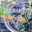 ブルーベリー 『サザンハイブッシュ系 2品種植え』 (3年生) 8号スリット鉢 《肥料付き!!》