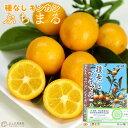 タネなし金柑 『 ぷちまる 』 15cmポット接木苗